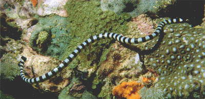 Giftige Seeschlange